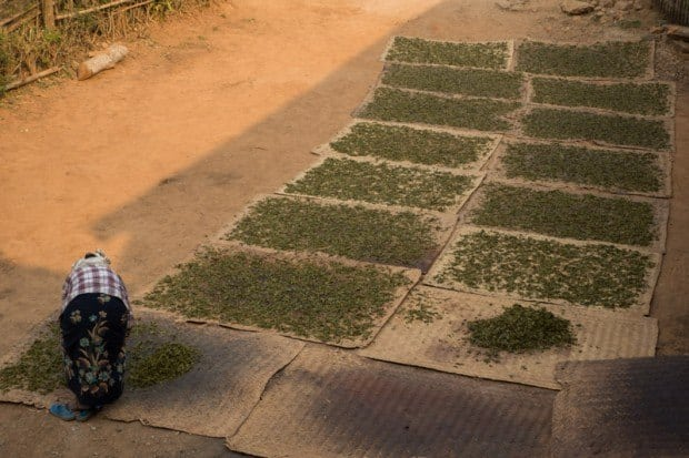 Drying out fresh green tea leaves. Hsipaw Trekking