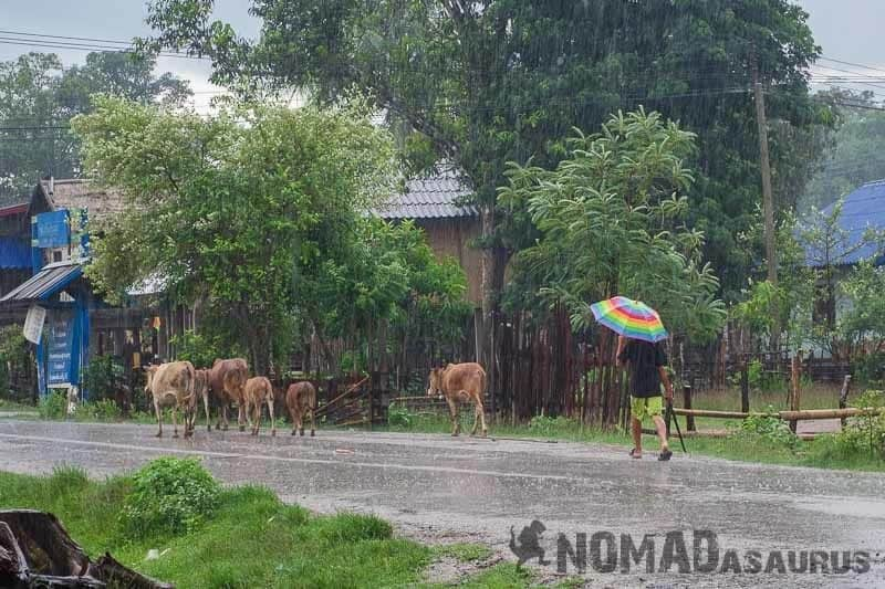 Rain Cattle Thakhek Loop Motorcycle Scooter Laos