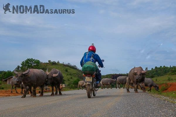 Traffic Laos buffaloes 6 months