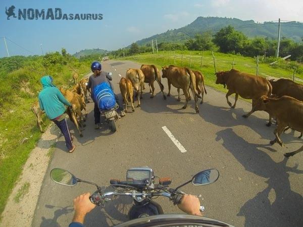 Vietnam traffic cows back roads Spontaneous Travel No Trip Itinerary No Plans