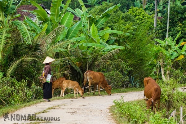 Lady Cows Mai Chau Vietnam