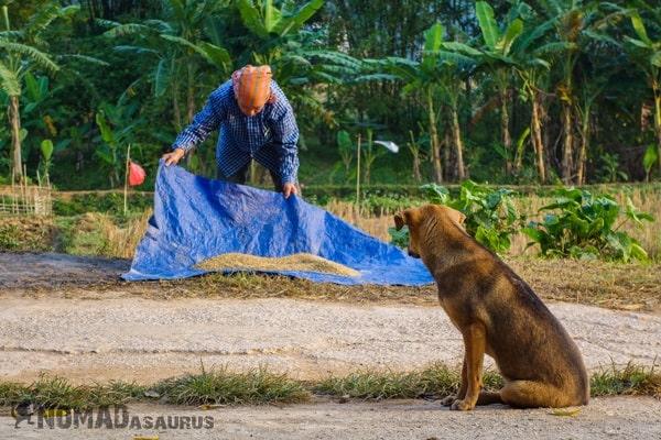 Rice Drying Dog Mai Chau Vietnam