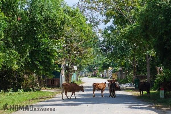 Phong Nha Cows Street Travel Burnout
