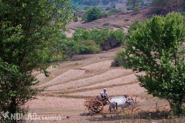 Buffalo Cart Farming Trekking From Kalaw To Inle Lake Myanmar Burma