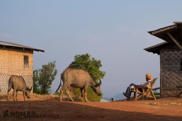 Man Buffalo Trekking From Kalaw To Inle Lake Myanmar Burma
