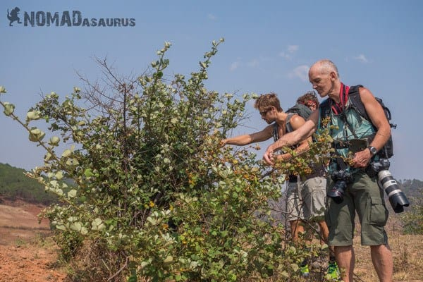 Picking Berries Trekking From Kalaw To Inle Lake Myanmar Burma