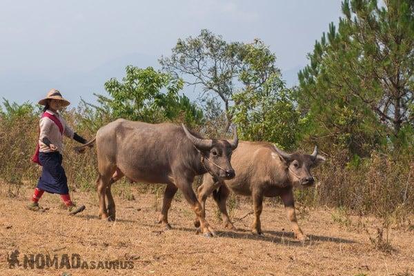 Buffalo Lady Trekking From Kalaw To Inle Lake Myanmar Burma