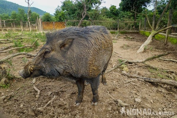 Pig Wild Boar Eco Farm Phong Nha Vietnam