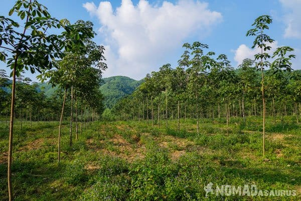 Rubber Trees Wild Boar Eco Farm Phong Nha Vietnam