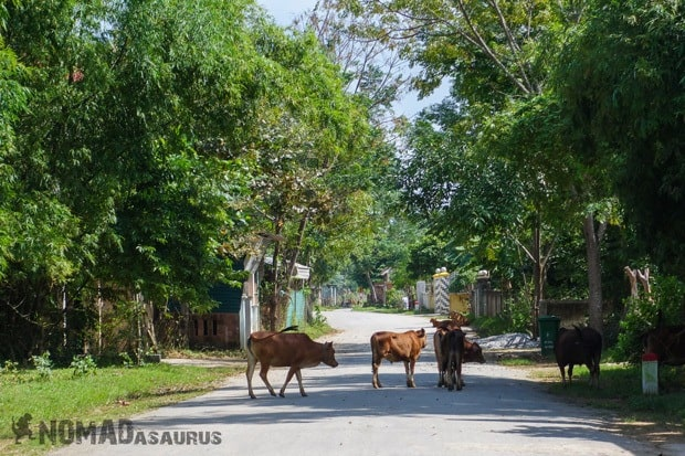 Cow Traffic Life In Phong Nha Vietnam Images Pictures Photo Gallery