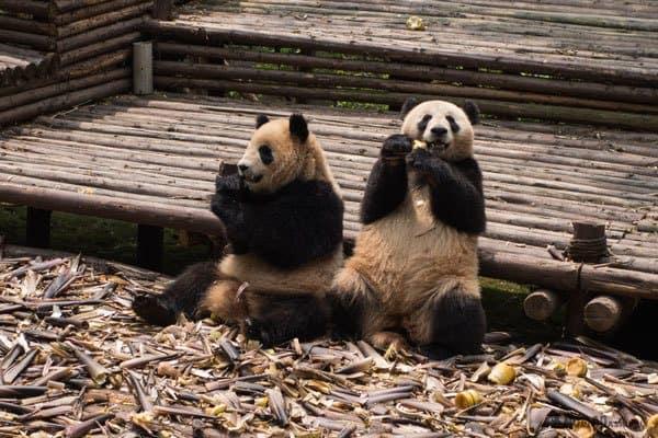 Chengdu Pandas Tibet Overland Route Shangri La To Chengdu Kham Province Travel