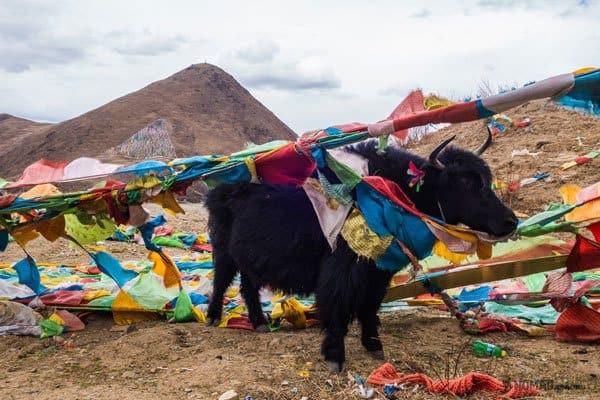 Yaks Prayer Flags Tibet Overland Route Shangri La To Chengdu Kham Province Travel