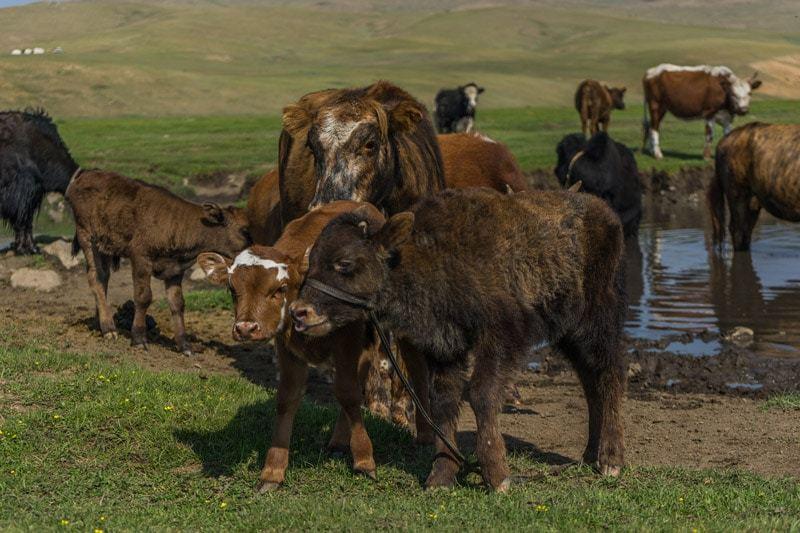 Cows Nomadic Family Nomad Life Mongolia Selena Travel Gobi Desert Tour