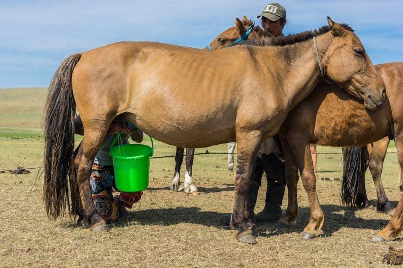Milking The Mares Horses Nomadic Family Nomad Life Mongolia Selena Travel Gobi Desert Tour