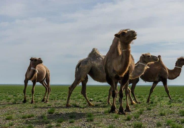 Riding Camels And Climbing Sand Dunes In The Gobi Desert