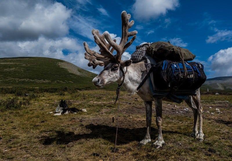 Pack Reindeer Tsaatan Dukha Reindeer Herders Mongolia
