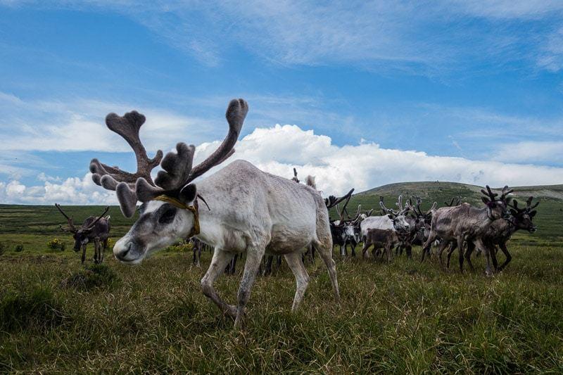 White Stampede Tsaatan Dukha Reindeer Herders Mongolia
