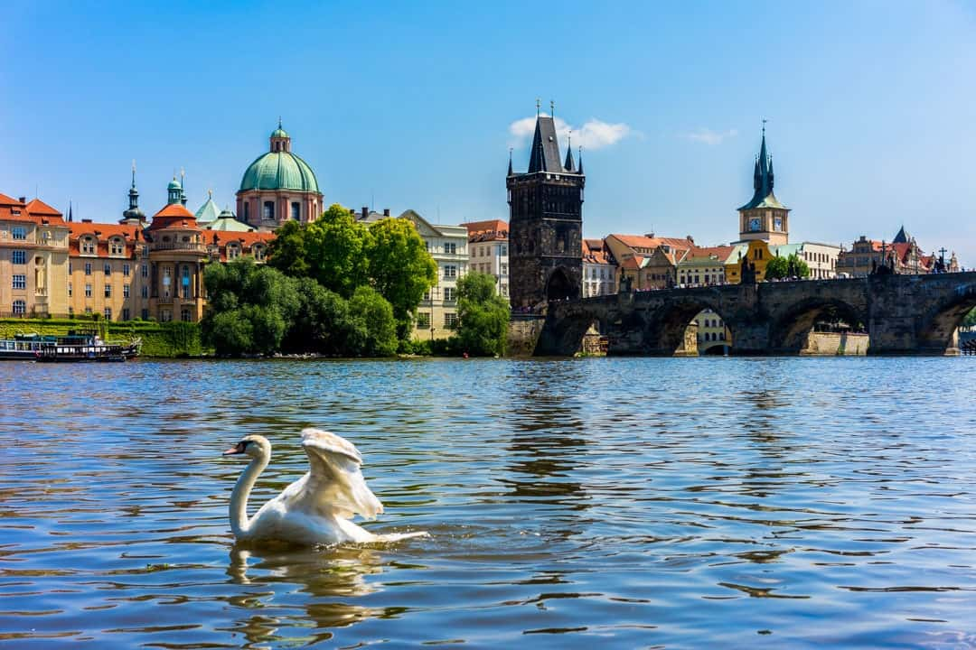 Swans Vltava River What To Do In Prague