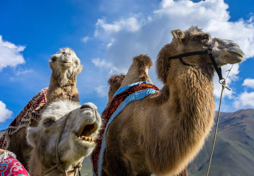 Camels World Nomad Games