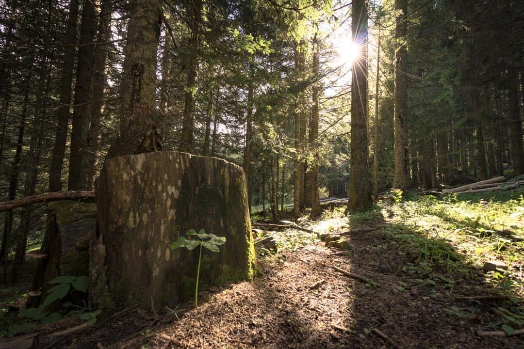Pine Forest Durmitor National Park Montenegro