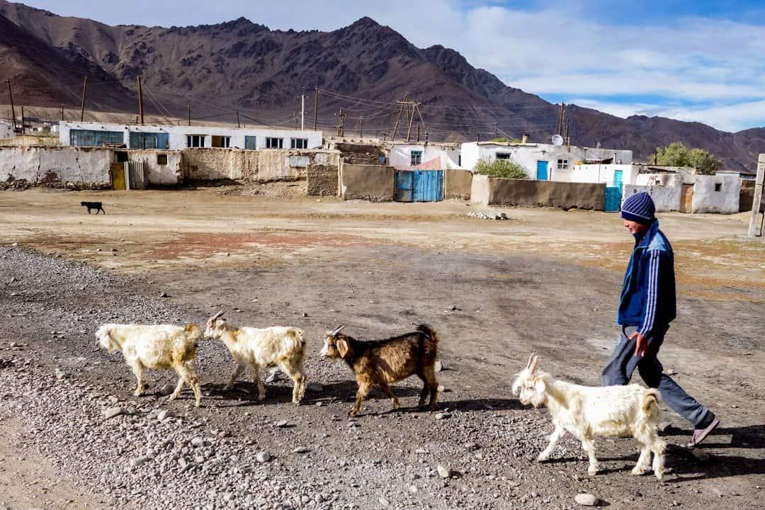 Murghab Goats Pamir Highway Adventure