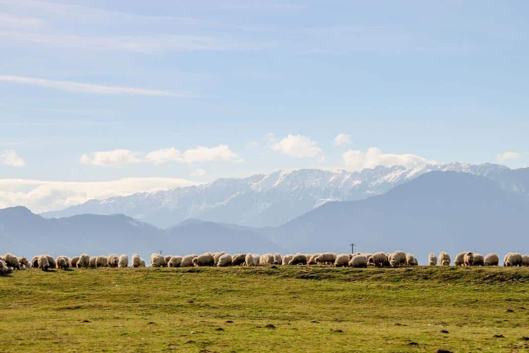 Sheep Hiking In Romania