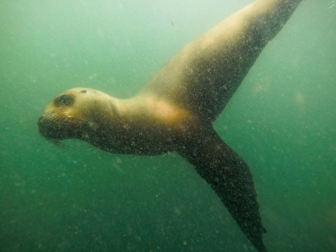 Snorkelling With Sea Lions Things Things To Do In Puerto Madryn