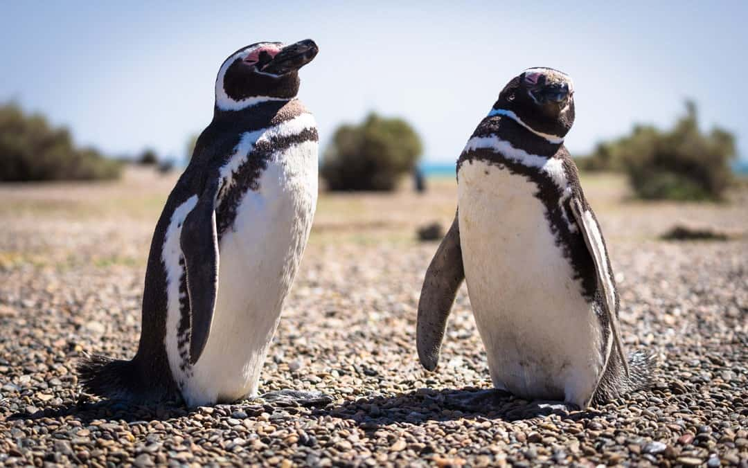 Things To Do In Puerto Madryn Magellanic Penguin