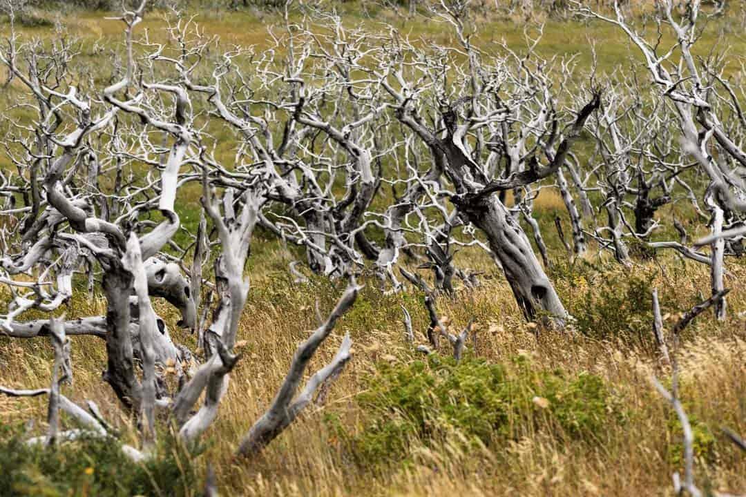 Burnt Forest Torres Del Paine