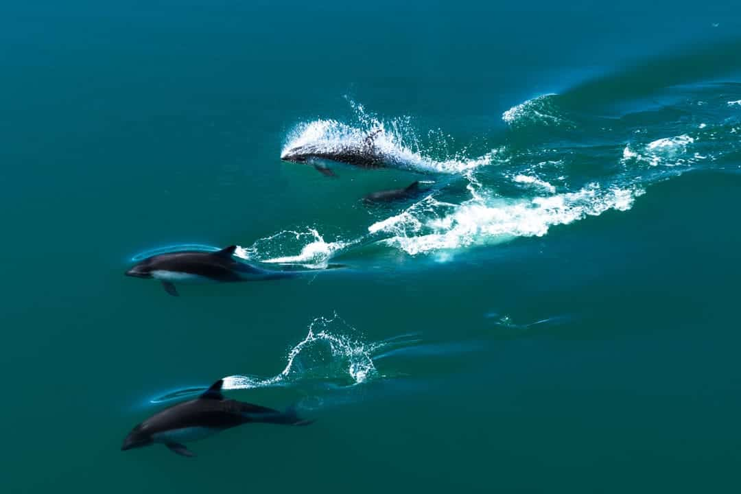 Dolphins Chile Fjords