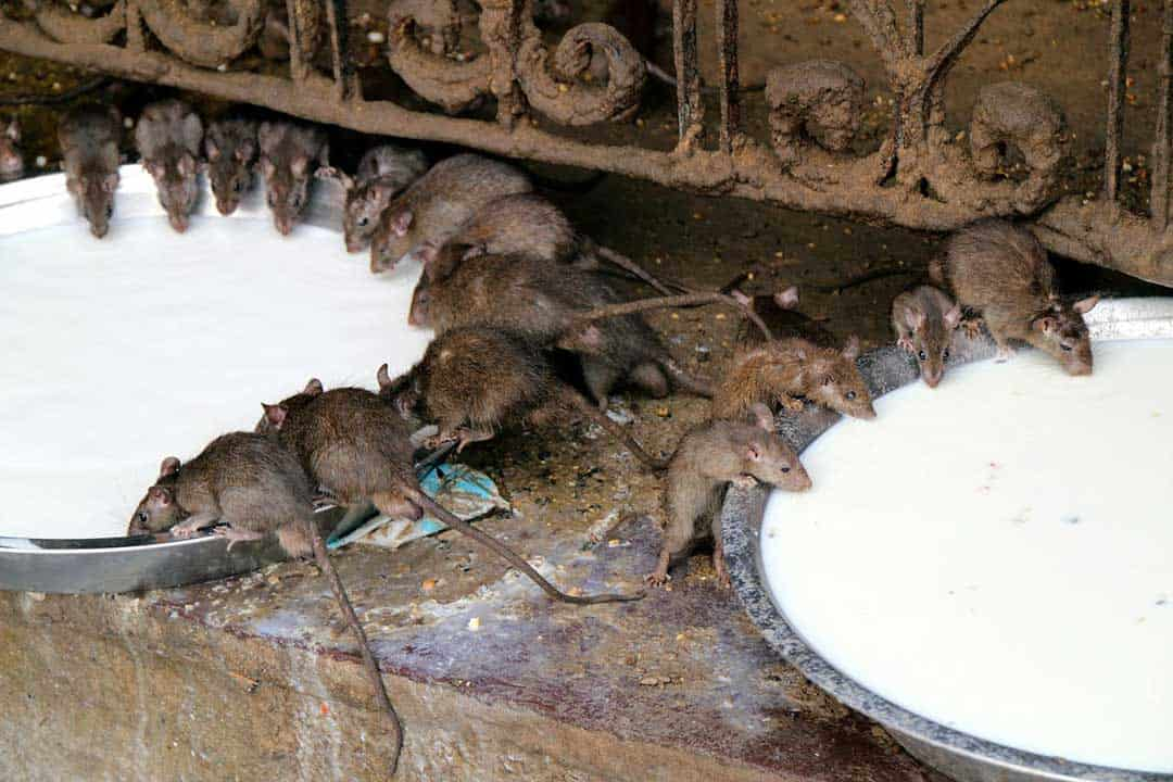 Karni Mata Rat Temple India