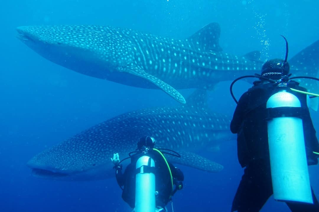 Beautiful Creatures - Diving With Whale Sharks In Sulawesi, Indonesia