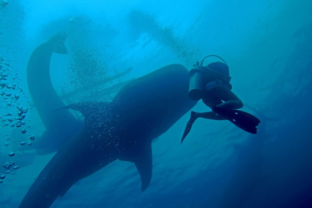 So Much Fun Diving With Whale Sharks In Sulawesi, Indonesia