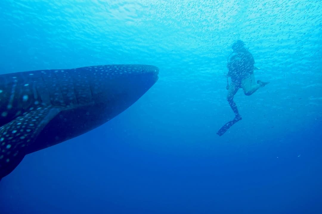 Look At The Size - Diving With Whale Sharks In Sulawesi, Indonesia