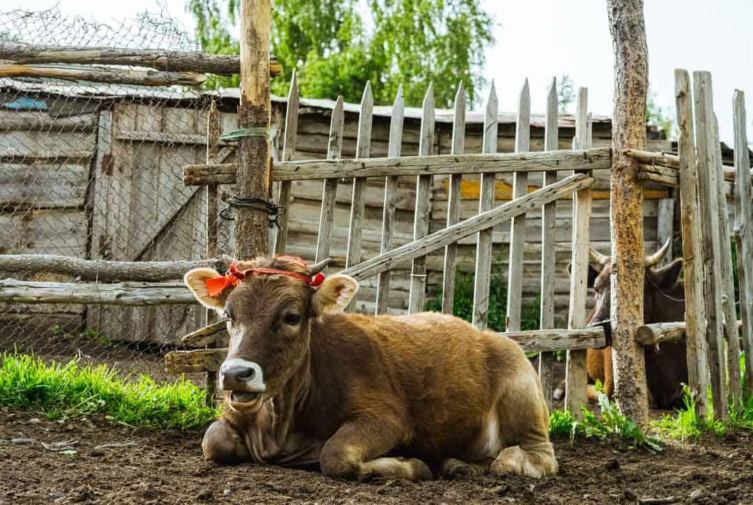 Cows Jyrgalan Village Kyrgyzstan