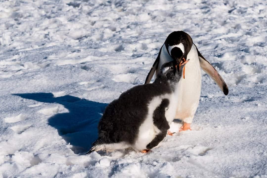 Penguins Camping In Antarctica