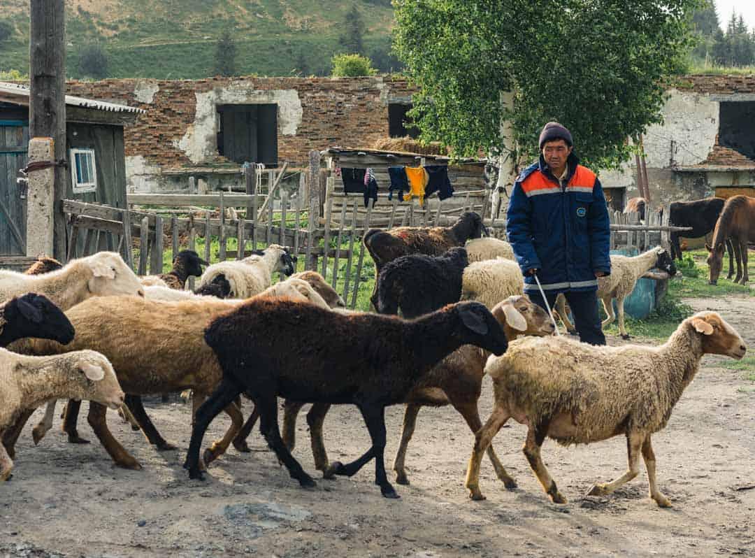 Goats Jyrgalan Village Kyrgyzstan