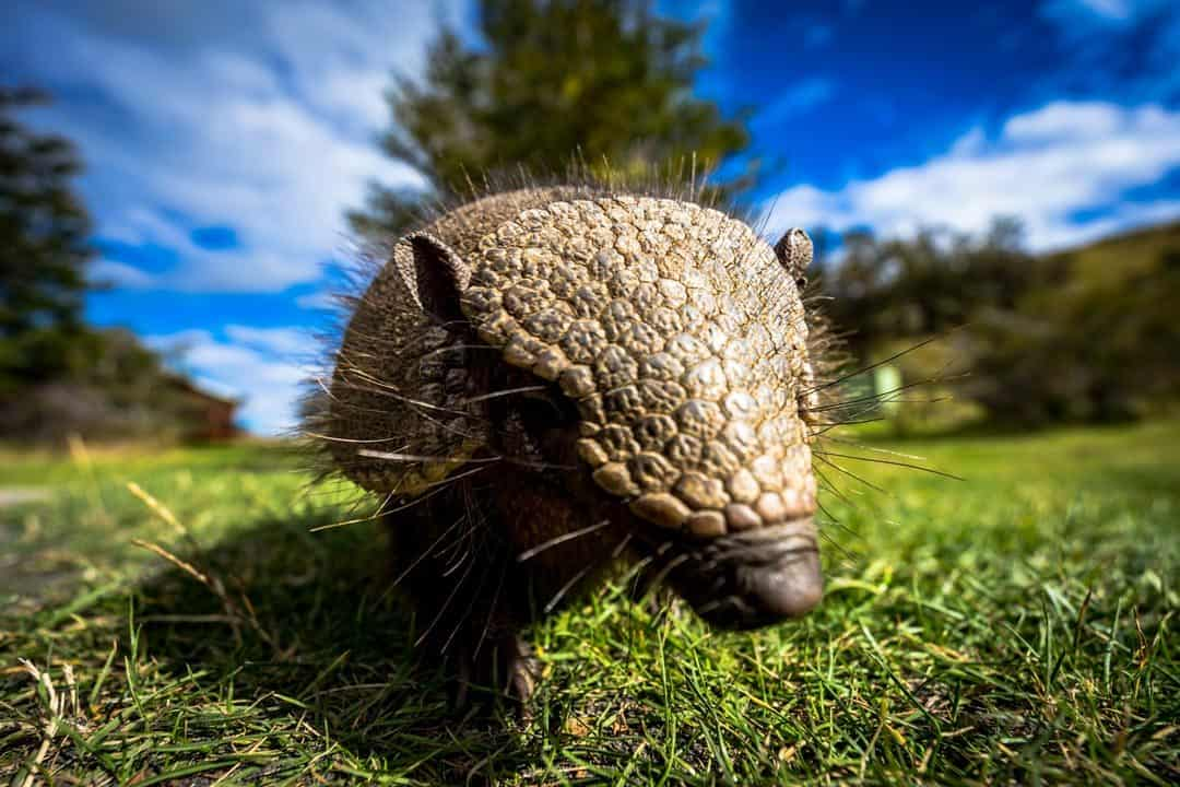 Armadillo Photos Of Chile