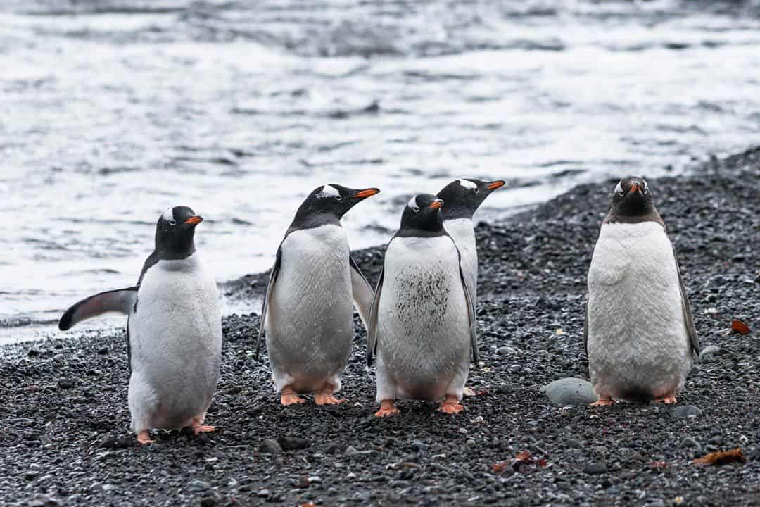 Gentoo Penguins Wildlife In Antarctica