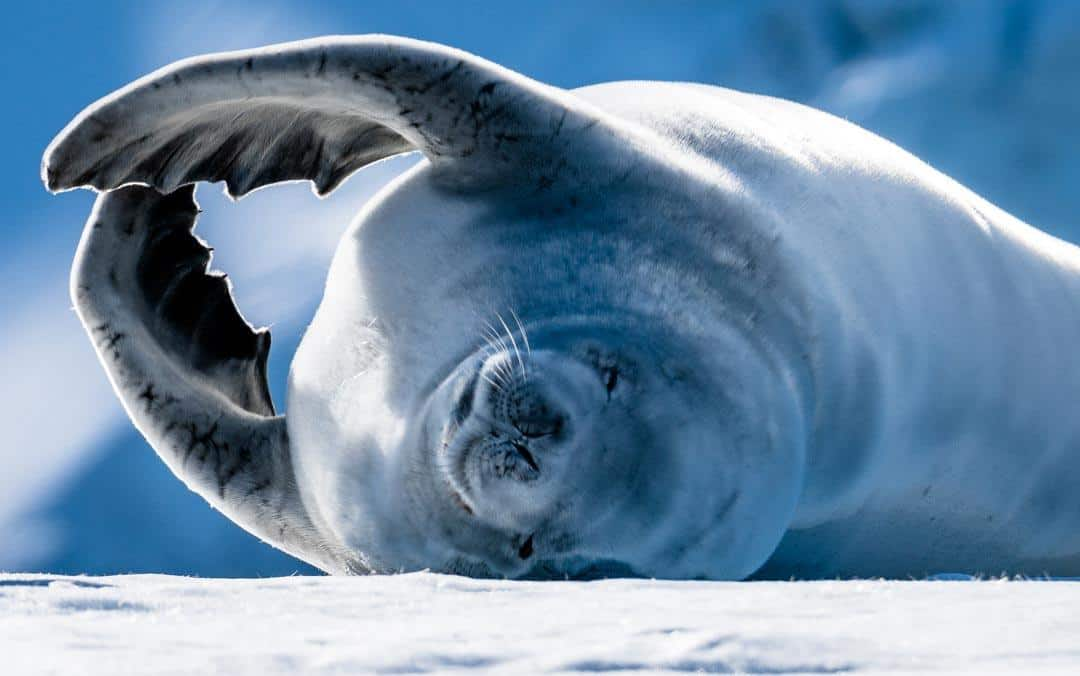 Crabeater Seal Wildlife In Antarctica