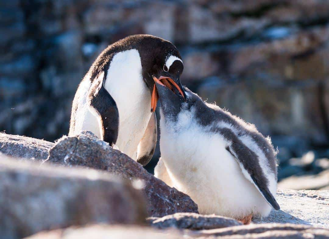 Gentoo Penguin Feeding Wildlife In Antarctica