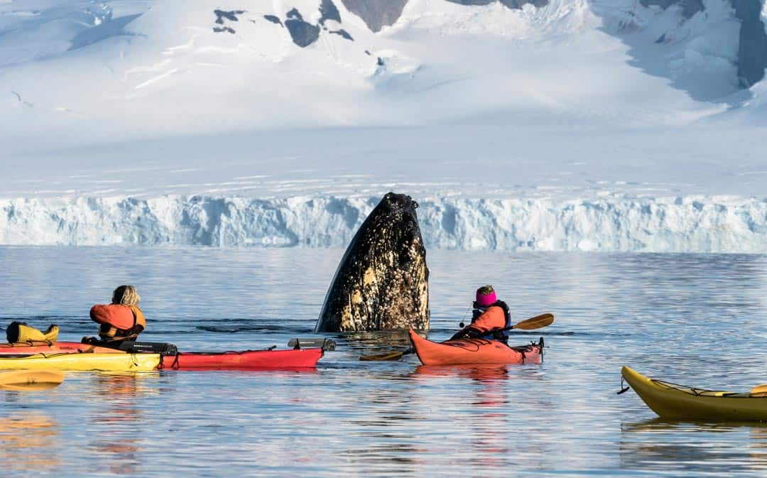 Humpback Whale Spy Hop Wildlife Encounters In Antarctica