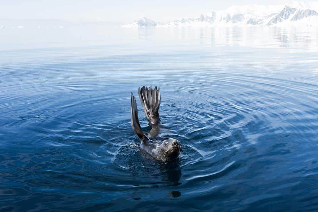 Seal Wildlife In Antarctica