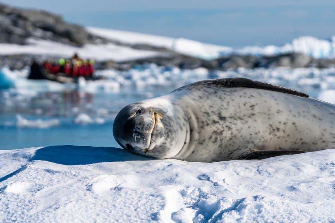 Leopard Seal Wildlife In Antarctica