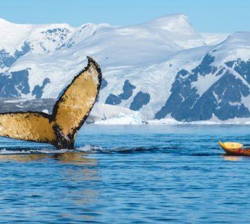 Humpback Kayaker Wildlife Encounters In Antarctica