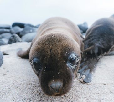 Baby Sea Lion Galapagos Islands Pictures