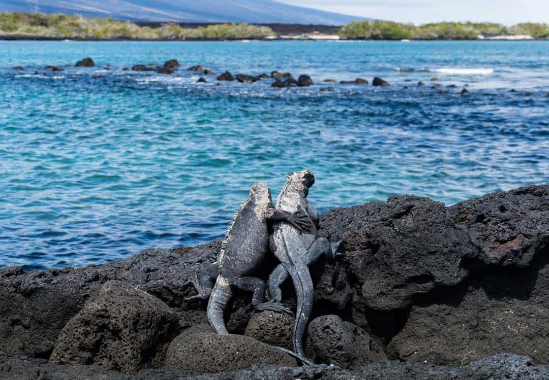 Marine Iguanas Galapagos Islands Pictures