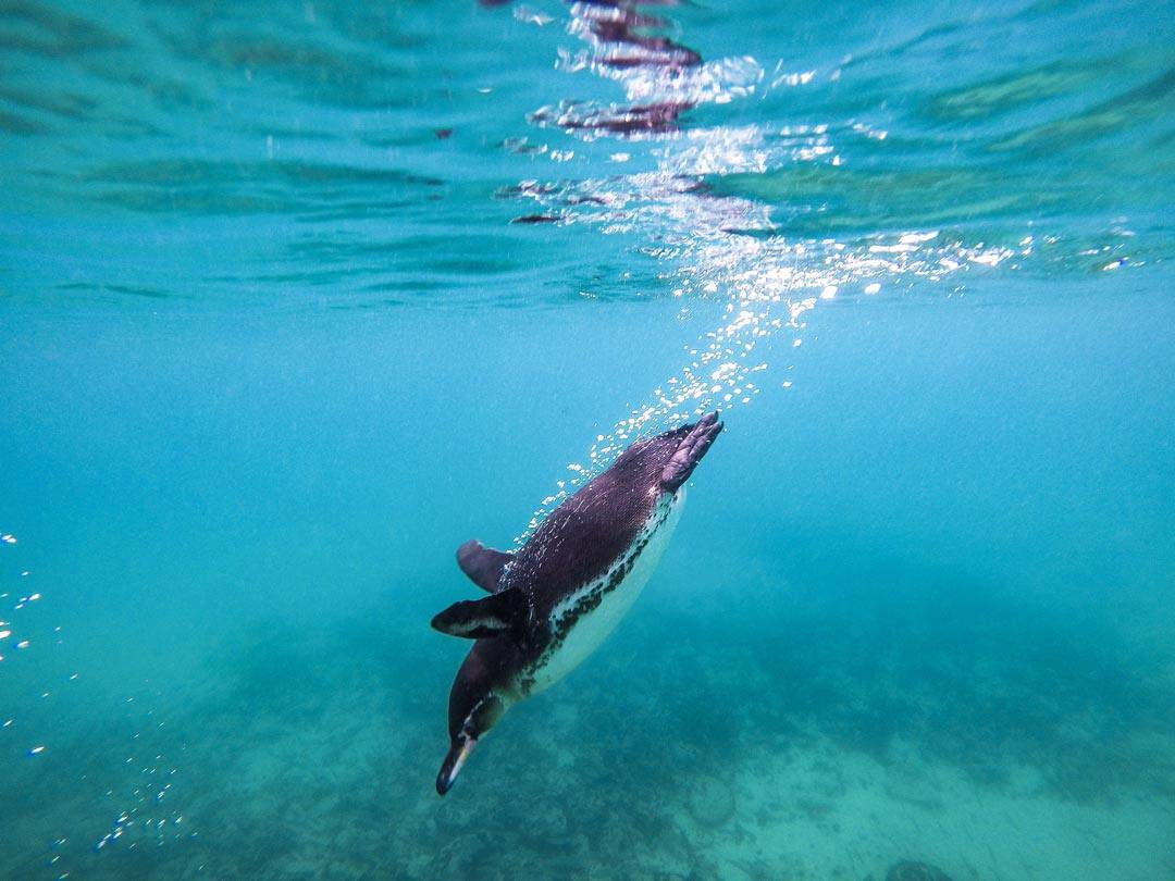 Swimming With Penguins Galapagos Islands Pictures