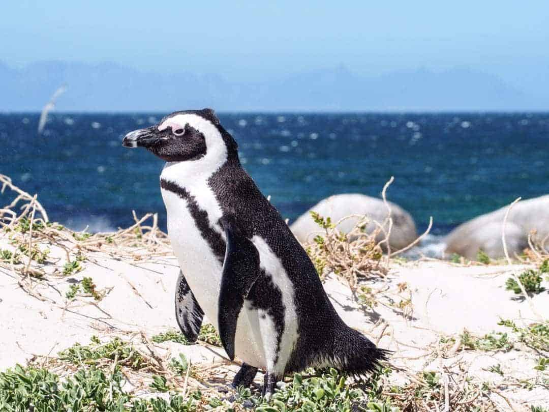 Penguins Boulder Beach Fun Things To Do In Cape Town