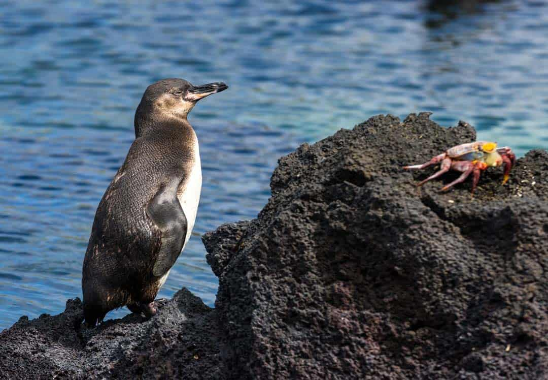 Penguin Galapagos Islands Pictures